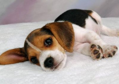 imagenes de perros beagle cachorros