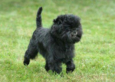 historia del perro affenpinscher