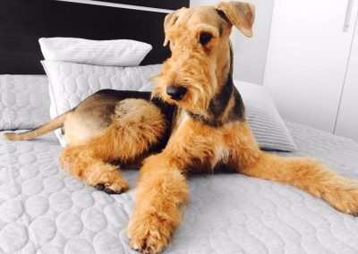 Airedale Terrier bonito