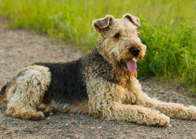 Airedale Terrier pelo rizado+