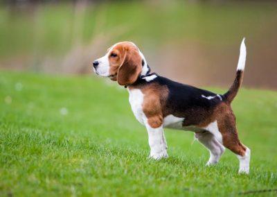 caracteristicas de un perro beagle