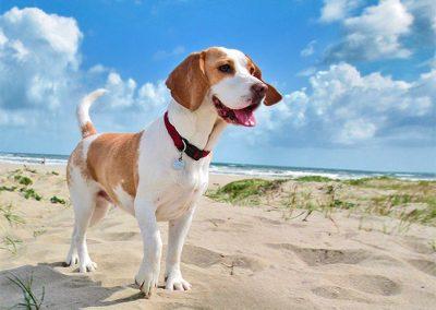 raza de perro beagle caracteristicas