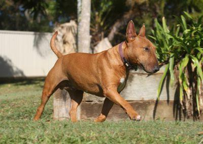 bull terrier caracteristicas y cuidados
