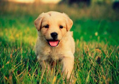 Cachorrito Golden Retriever