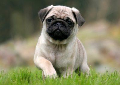 nombres para perros pug tiernos