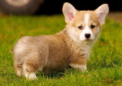 razas de perros corgi gales pembroke