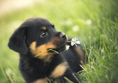 Cachorrito rottweiler pacifico