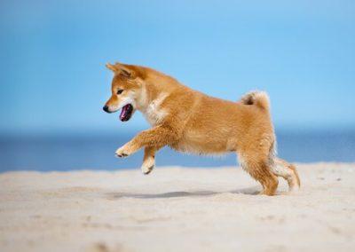 perro shiba inu cachorro