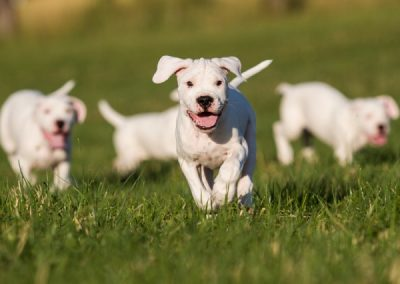 Cachorros mastin blanco