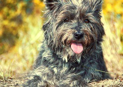 caracteristicas del perro cairn terrier