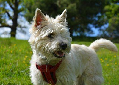cuanto cuesta un perro cairn terrier