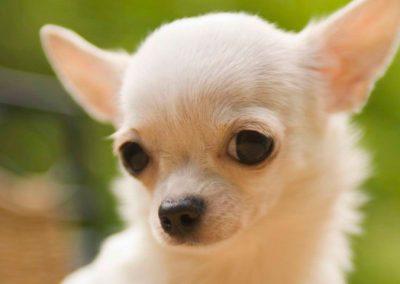 razas de perros chihuahua pelo largo