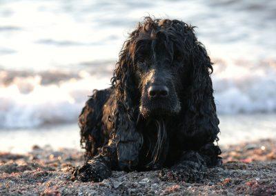 imagenes de un perro cocker