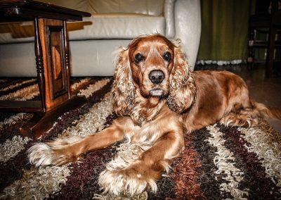 cuanto cuesta un perro cocker spaniel