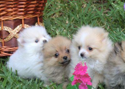 pomerania cachorro gratis adopción