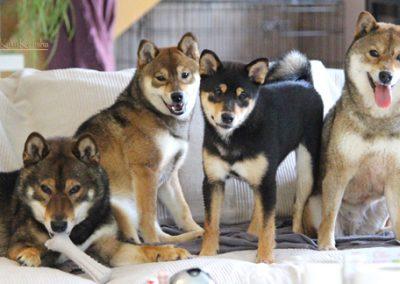imagenes de perros shiba inu
