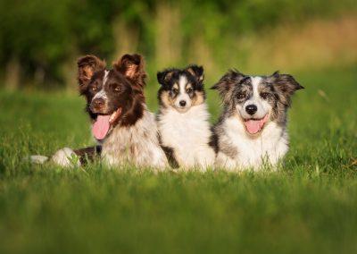 cuanto cuesta un perro de raza border collie