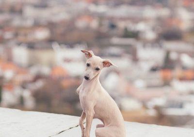 perro galgo italiano miniatura