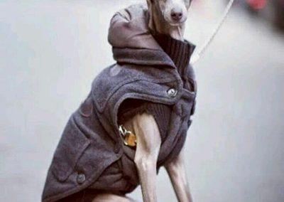 raza de perro galgo enano