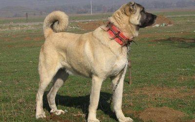 kangal turco