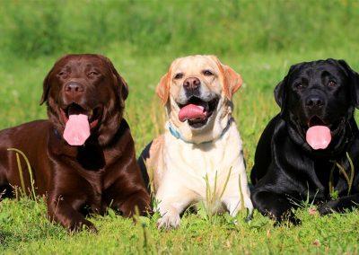 Labrador Retreiver adultos