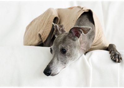 cachorro pequeño lebrel italiano