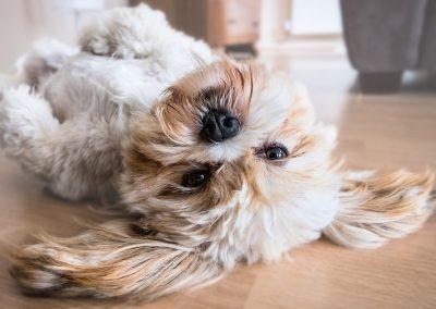 raza de perro lhasa apso caracteristicas