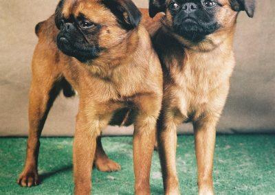 petit brabancon vs pug