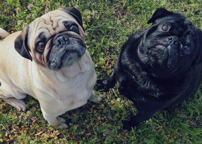 memes de perros pug en español