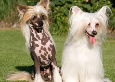 el perro mas feo del mundo crestado chino