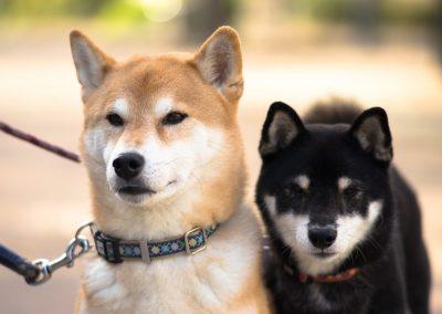 diferencia entre shiba inu y akita inu