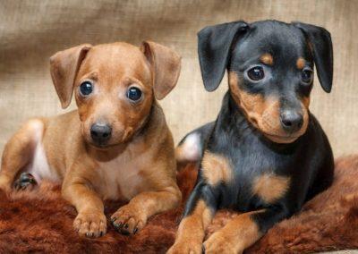 raza de perro doberman pinscher miniatura
