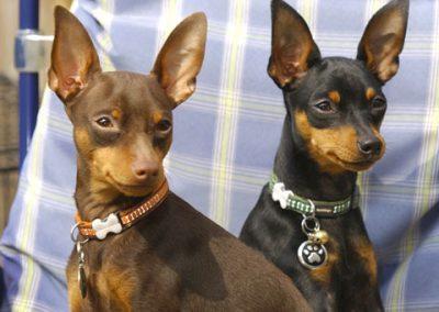 perro pinscher miniatura precio