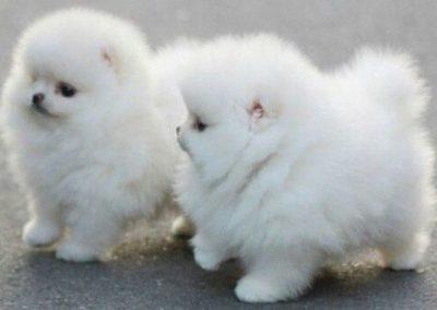 raza de perros pomerania miniatura