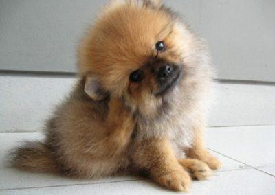 el perro pomerania suelta pelo