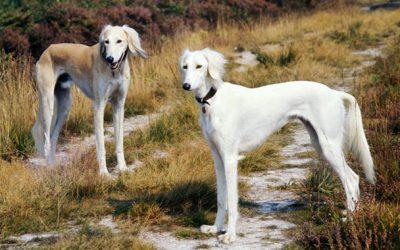 saluki raza de perro