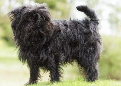caracteristicas del perro affenpinscher