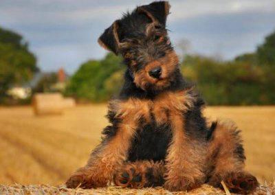 cachorro Airedale Terrier