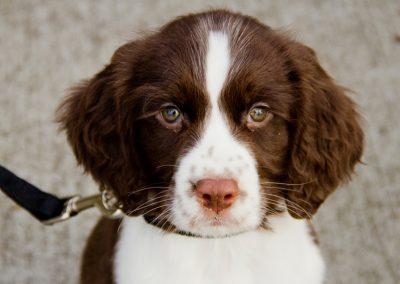 cachorro Springer Spaniel