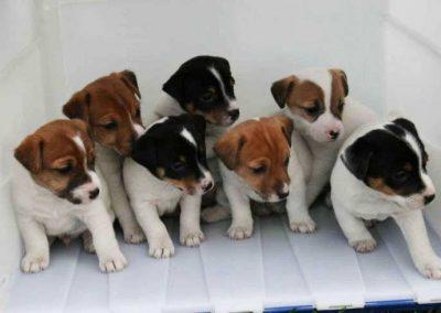 nombres para perros raza jack russell terrier