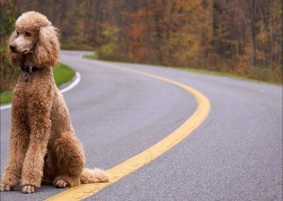 razas de perros french poodle gigante