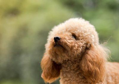 cortes de pelo para caniche toy