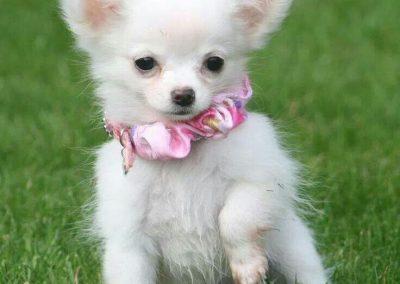 razas de perros chihuahua cabeza de venado