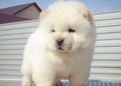 perro de messi raza