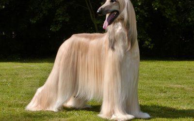 raza de perro galgo afgano