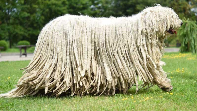 El Komondor ▷ El Perro más Rastafari de los Gigantes