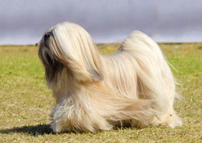 imagenes de perros lhasa apso