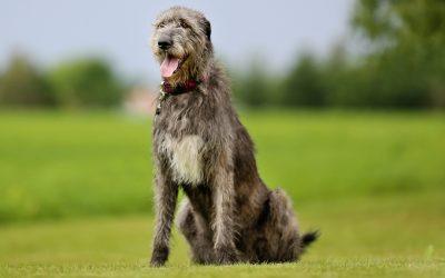 galgo irlandés (irish wolfhound)