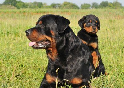 mama Rottweiler con su hijo