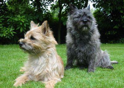 origen del perro cairn terrier